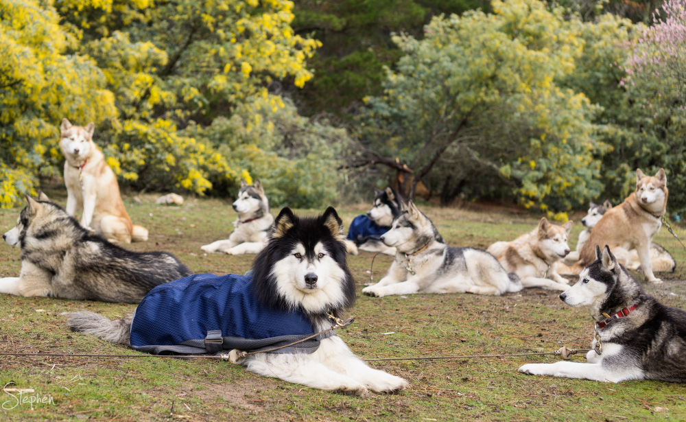 Sled dogs resting before Canberra Sled Dog Classic