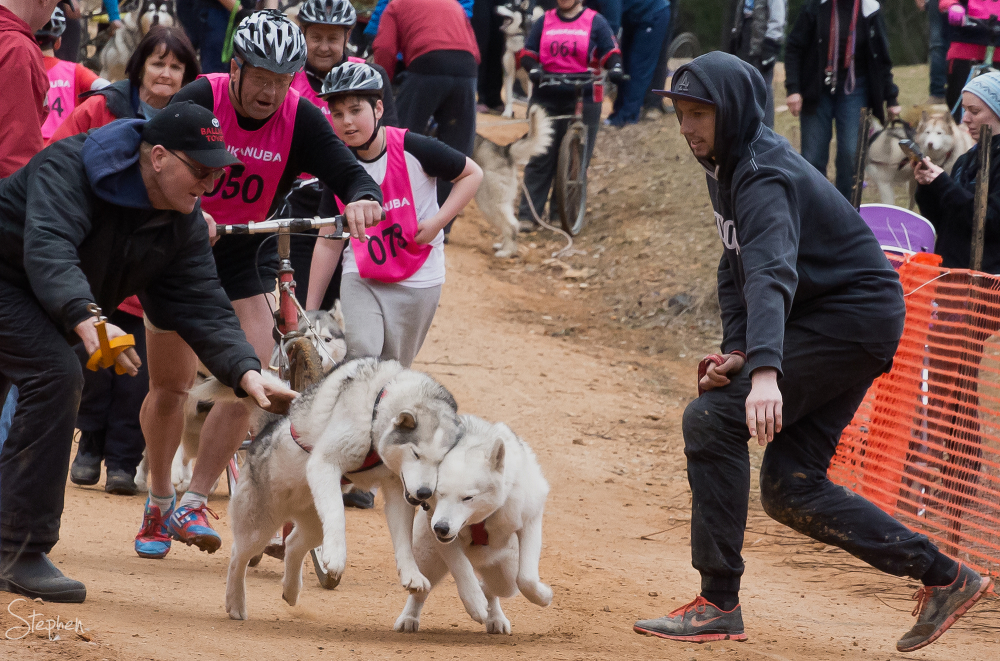 Starting line action at Canberra Sled Dog Classic