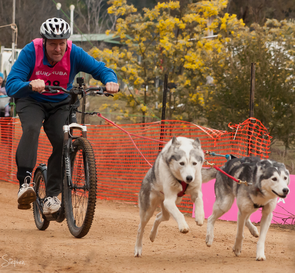 Forest trail racing at Canberra Sled Dog Classic
