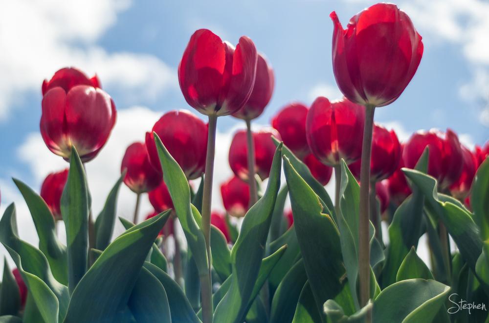 Tulip display at Floriade festival