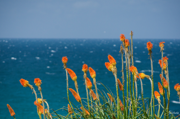 Red Hot Poker flowers at Dalmeny on South Coast