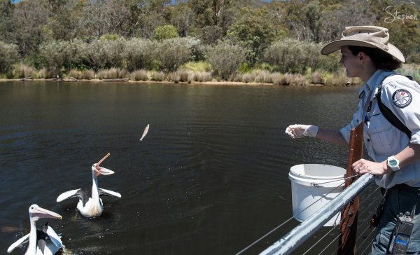Feeding pelicans at Tidbinbilla Nature Reserve