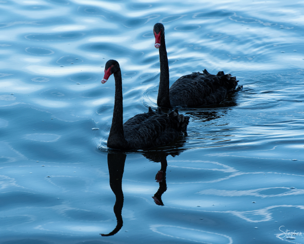Black Swans on Lake Burley Griffin