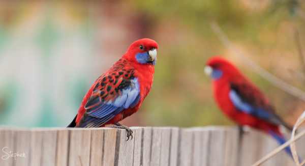 Crimson Rosellas in Canberra garden