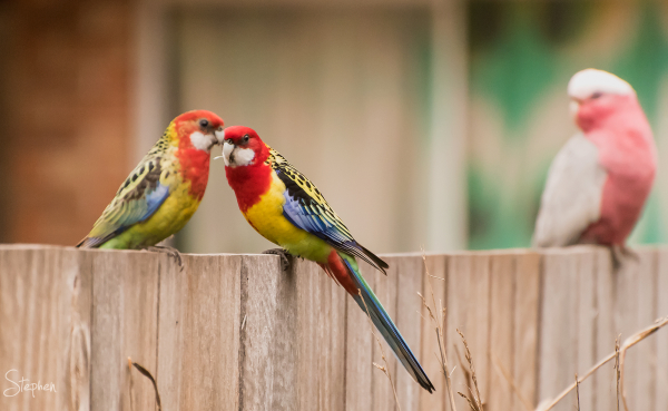 Pair of Eastern Rosellas in Canberra garden