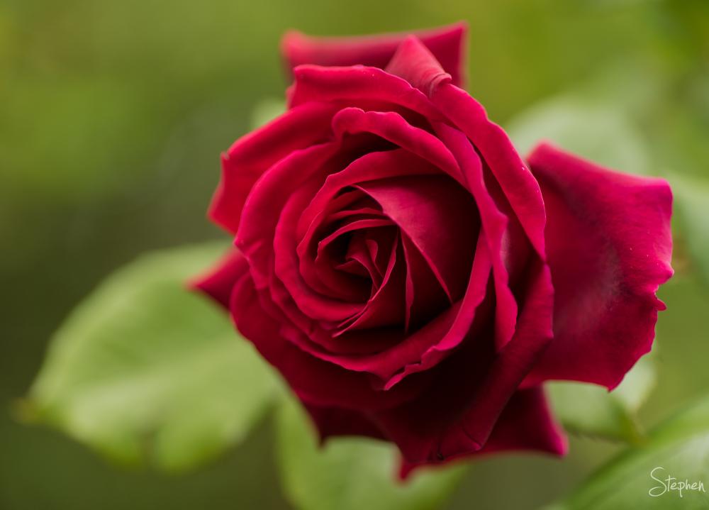 Red rose in Canberra garden
