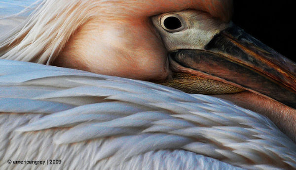 Portrait Pelican