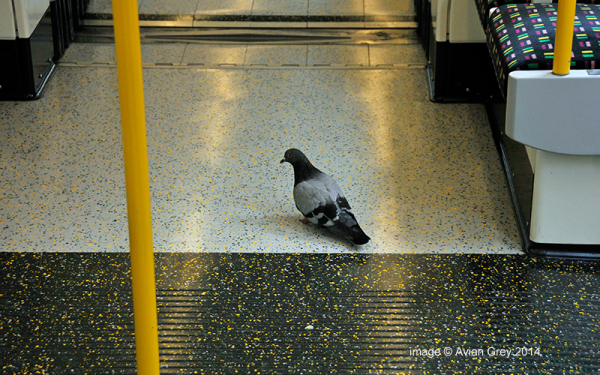 Pigeon on a Train