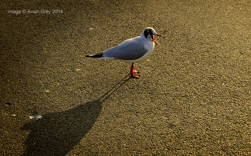 Gull Speaks