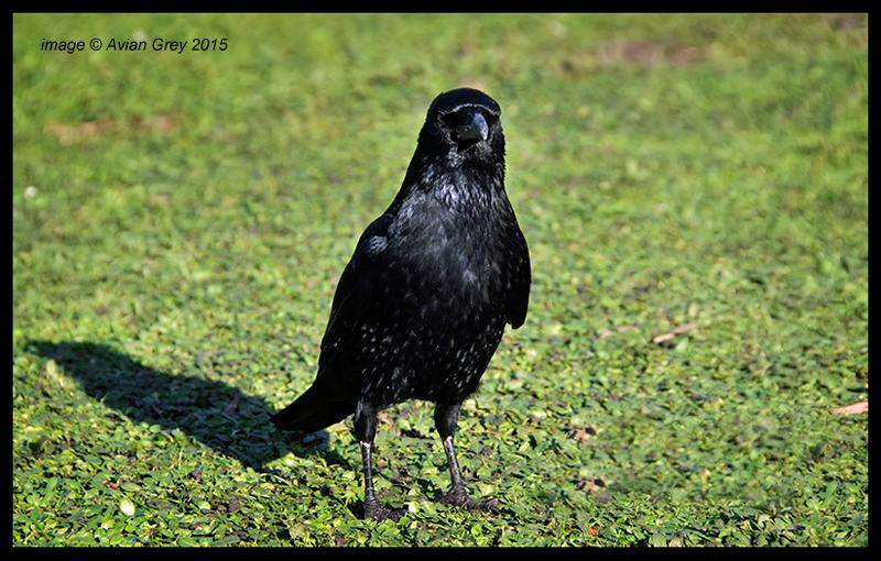 Crow . .