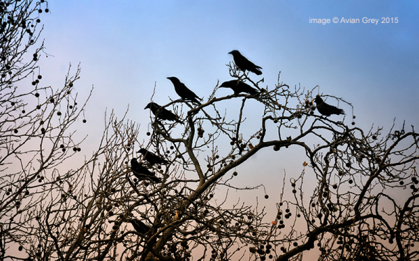 Crows on High