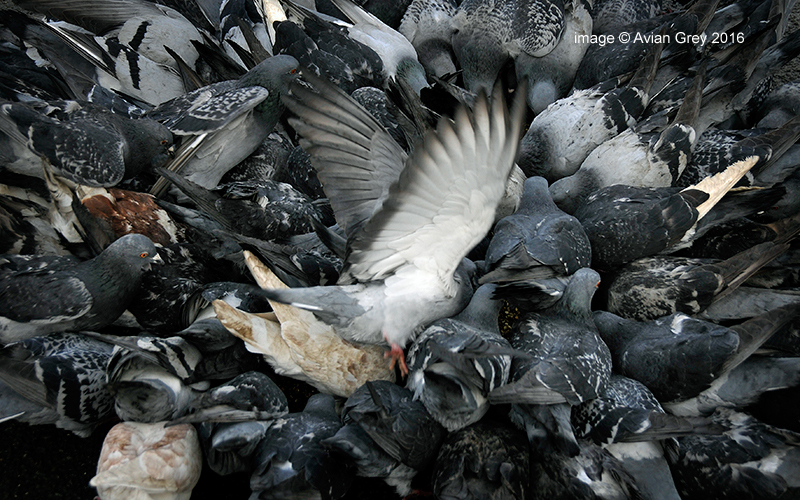 Pigeon Chaos