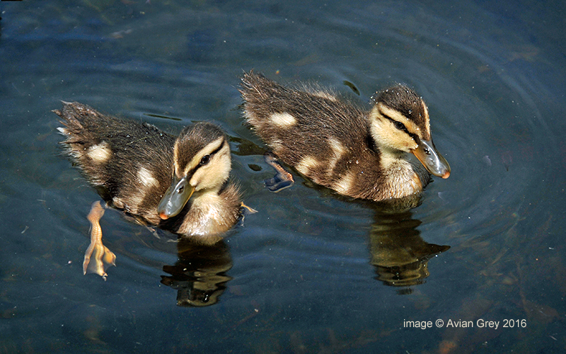 . . and Ducklings . .