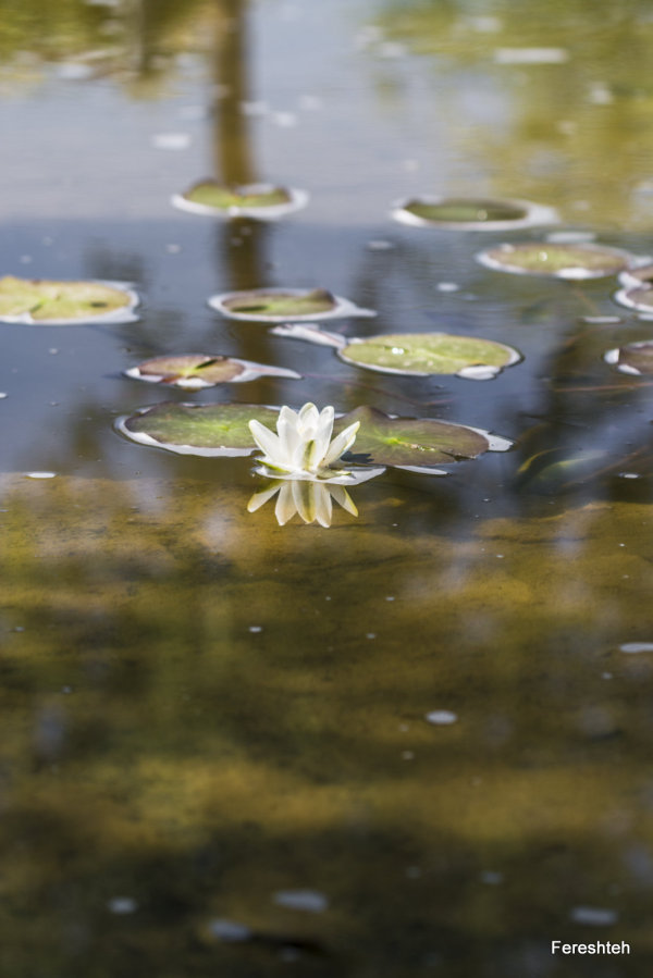 Water lily ll