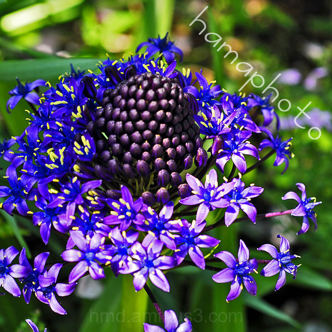 Blue flower青い花
