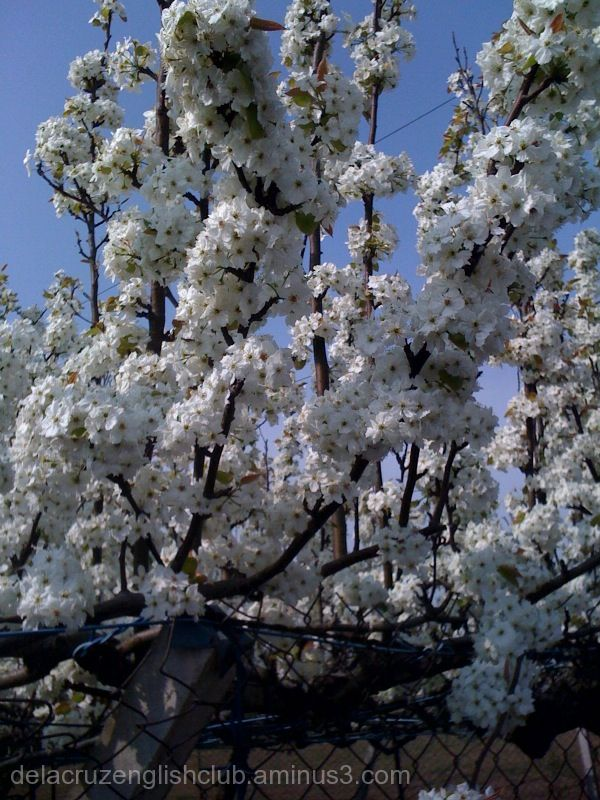 blooming pear tree
