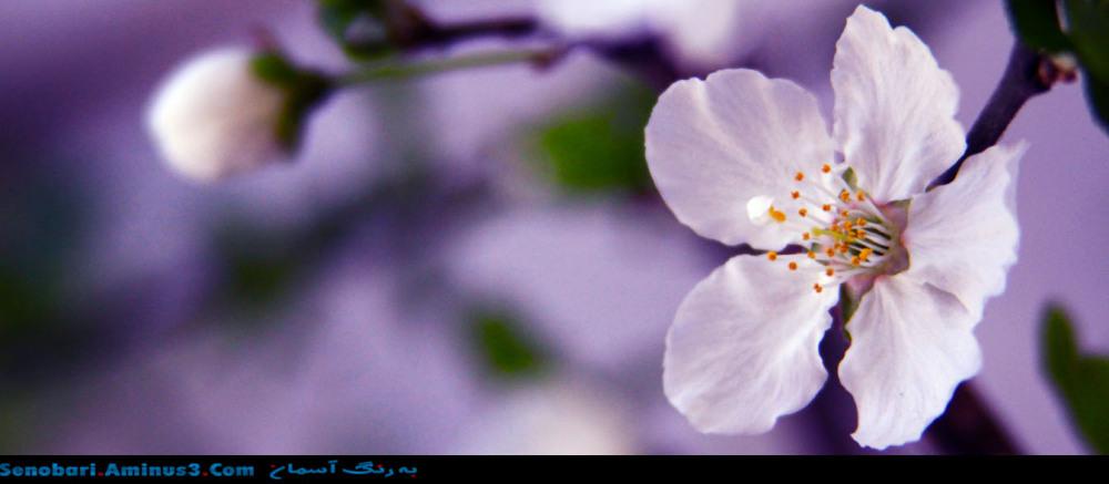 Cherry Blossom شکوفه گیلاس