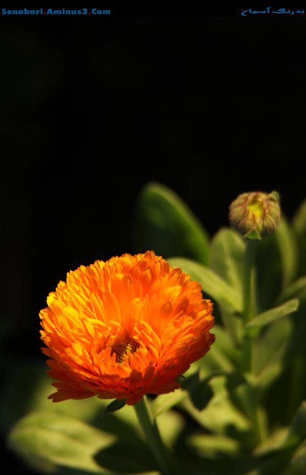 blossom flower گل
