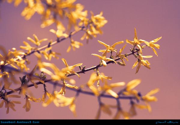 غروب بهار شکوفه