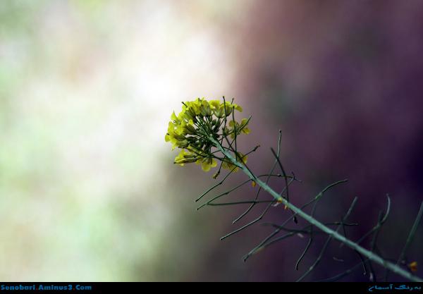 گل زرد بهاری