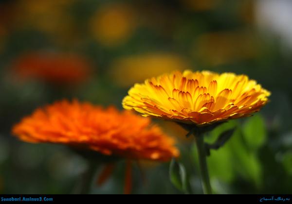 گل زرد و گل نارنجی