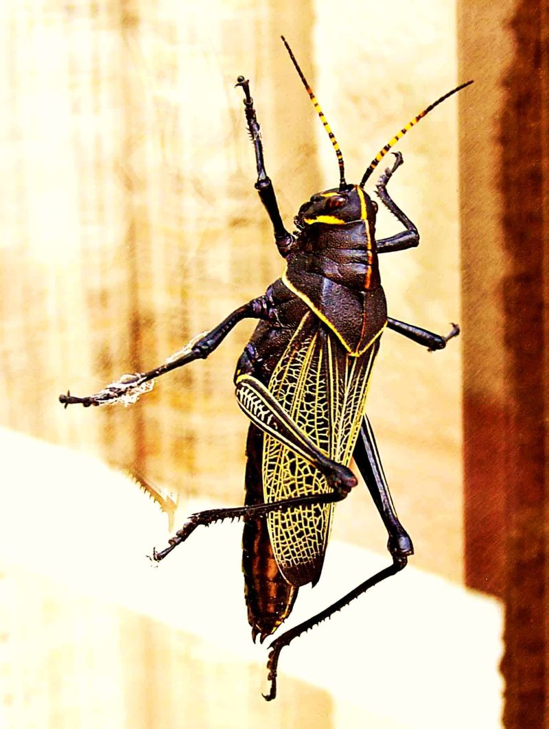 Mexican General Grasshopper
