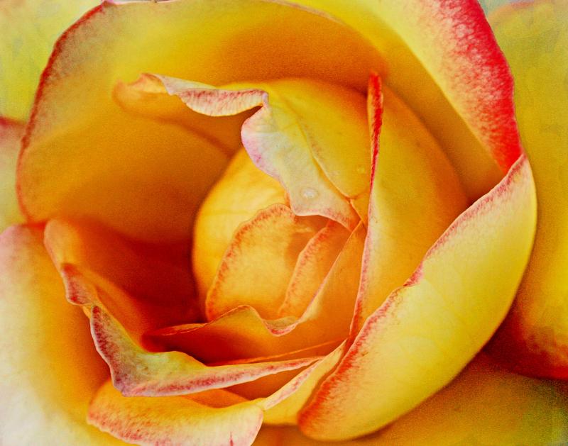 ROSE - HOLY TRINITY MONASTERY