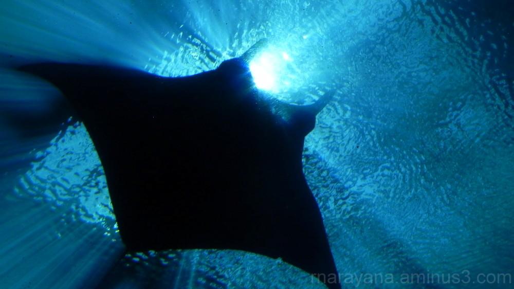 Mantaray at Aquarium, Atlanta