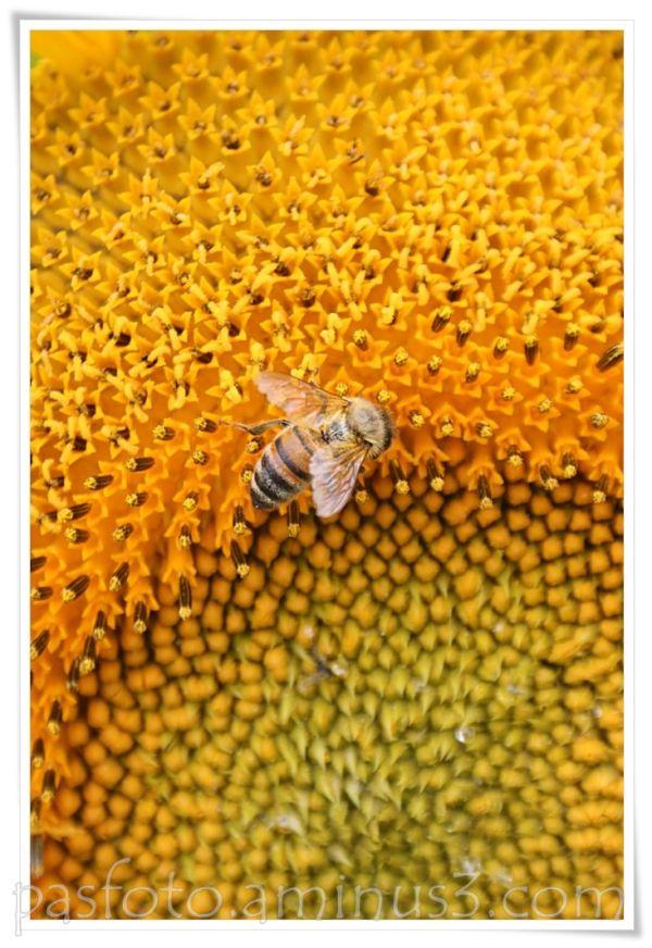 bee, yellow, sunflower,