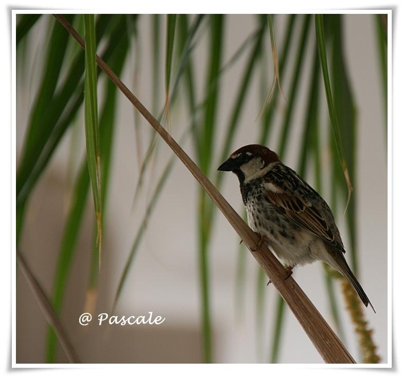 djerba , Sparrow