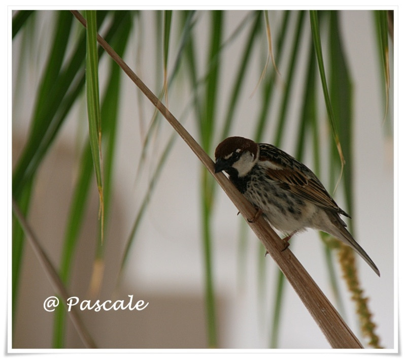 djerba , Sparrow