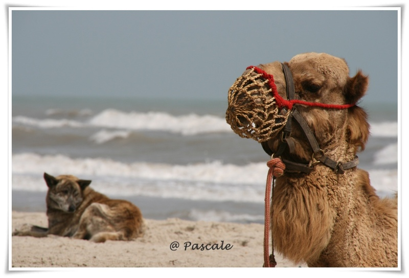 djerba, beach, camel , dog