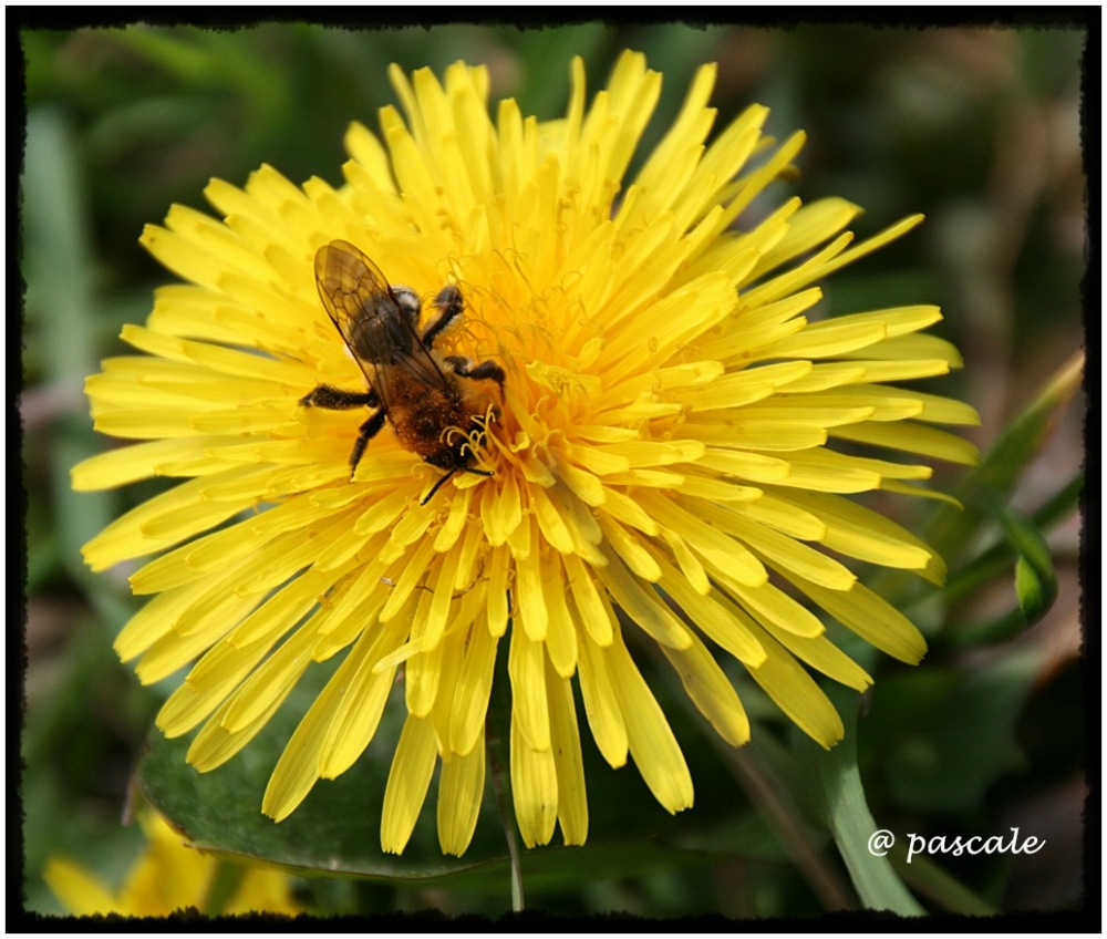 bee, yellow, dandelion