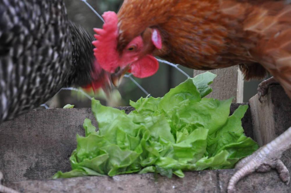 Lettuce O'Clock