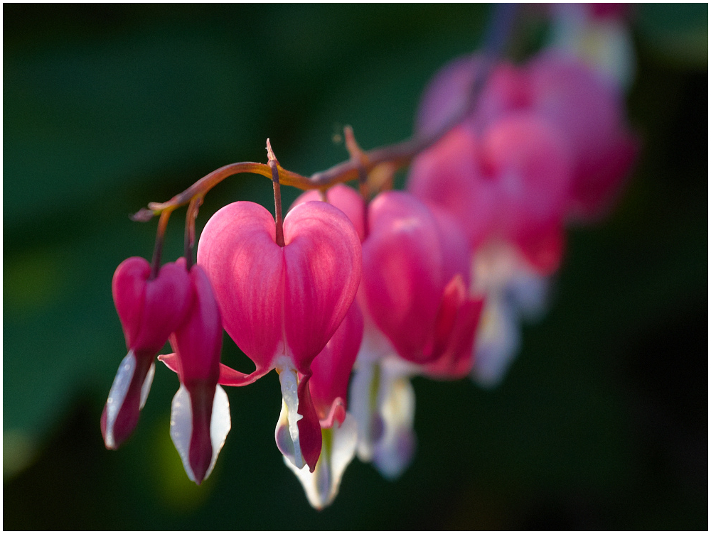Bleeding-heart