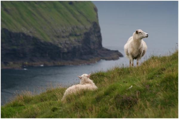 Lamba aasta / Year of the sheep