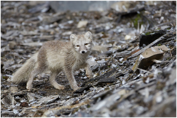 Arctic fox - Diskobukta birds colony, Edgeøya