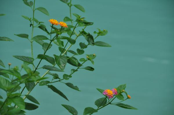 Waterfall Flower - Laos