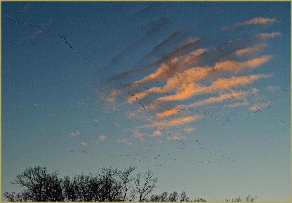Snow Geese - Scribblers in the Sky