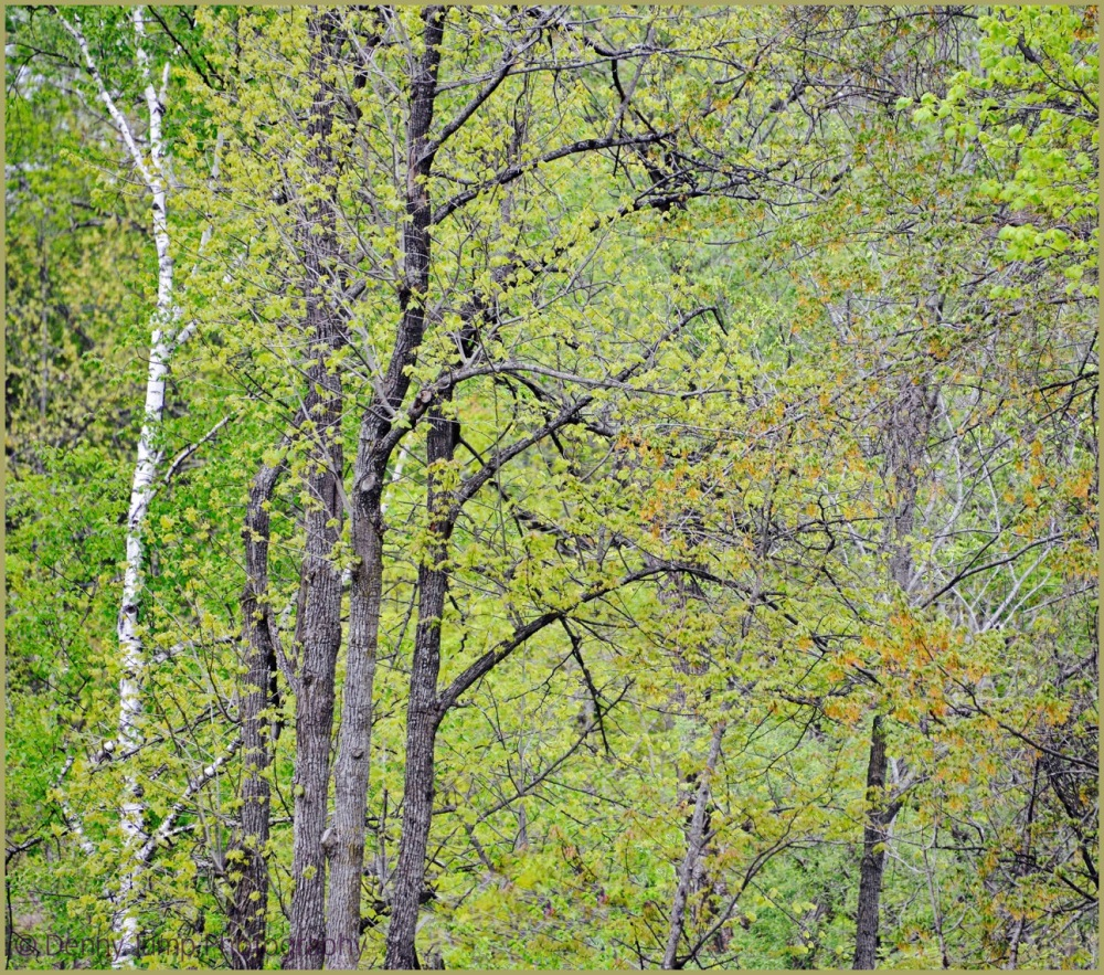 Springtime Trees in a Vermont Wood