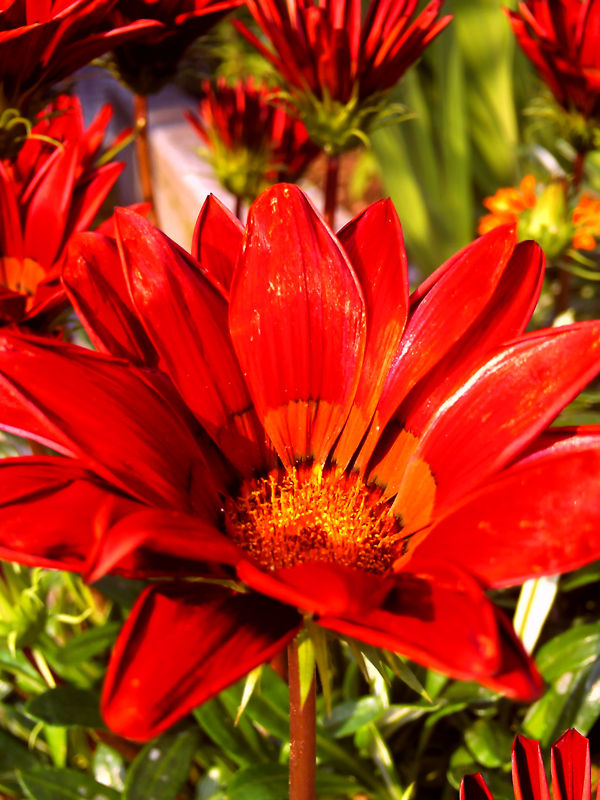 red orange flower in Kochi