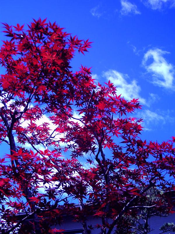 red leaves, blue sky, Kochi. ruĝaj folioj.