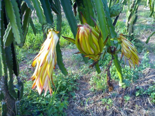 Dragon Fruit's flower