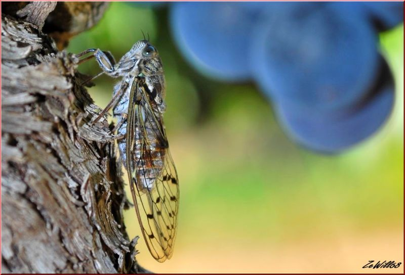 Cigale (aux yeux bleus) du sud de la France.