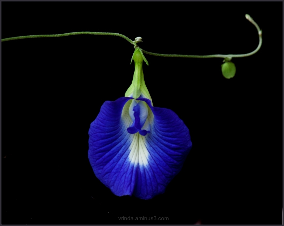 dangling beauty