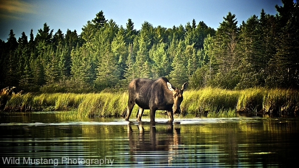 Moose; North Maine Wilderness, USA