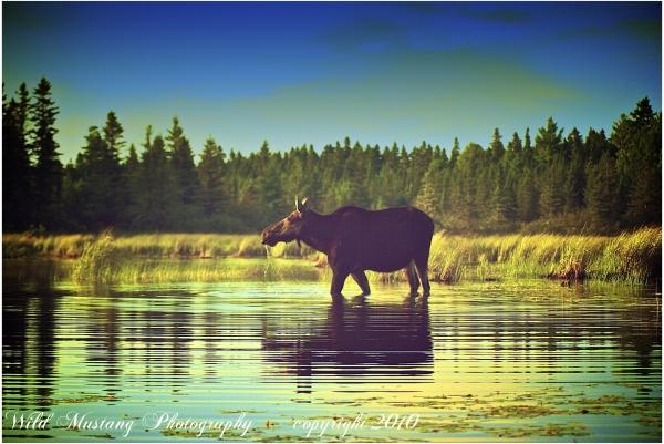 Moose   water    grasses