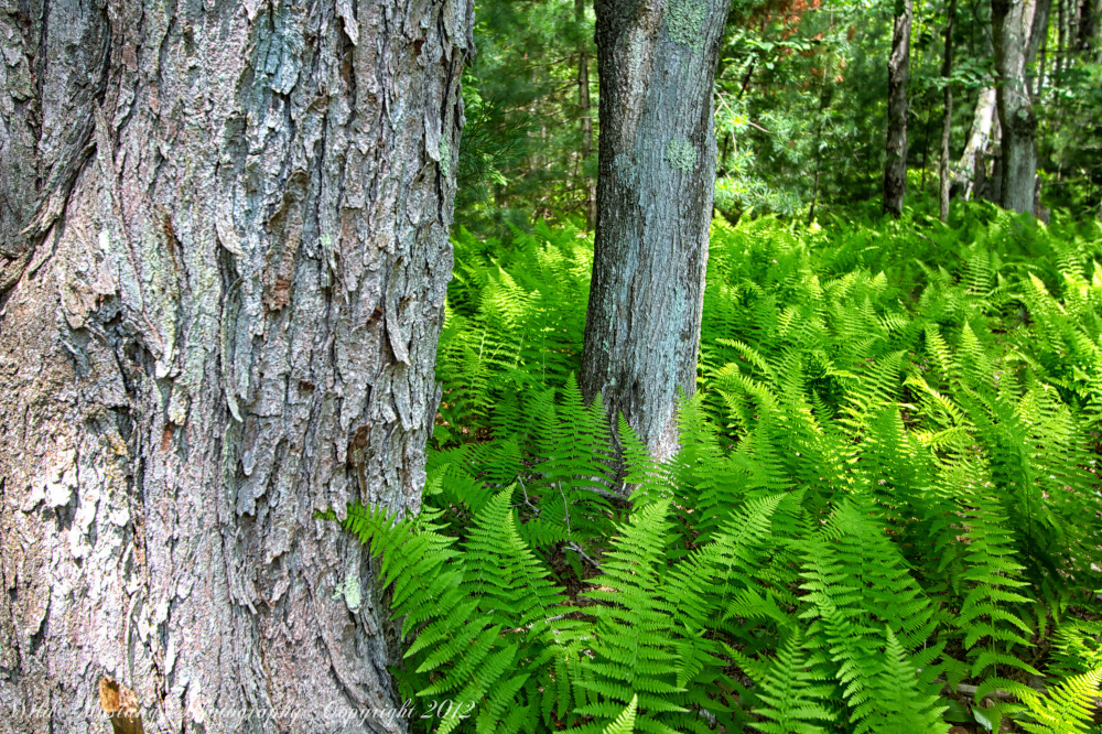 Ferns, trees, woodland, Green