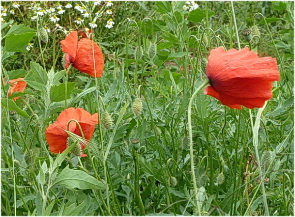 nature, fleurs, coquelicots.