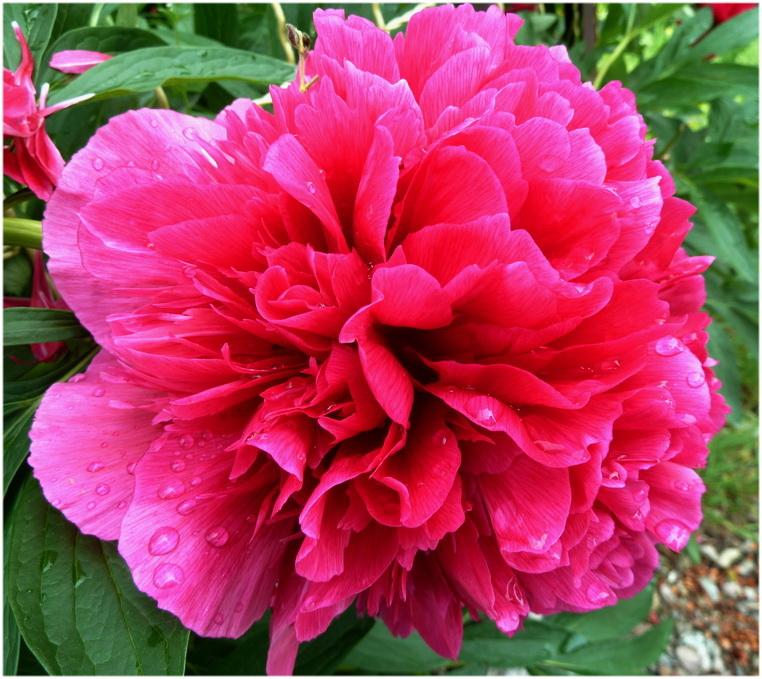 Rose vif!